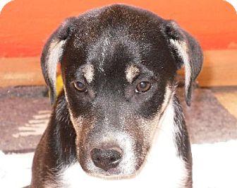 Australian Kelpie/Border Collie Mix Puppy for adoption in Alturas, California - Explorer