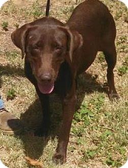 Labrador Retriever Dog for adoption in Denton, Texas - Presley