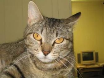 Domestic Shorthair/Domestic Shorthair Mix Cat for adoption in Greenville, Illinois - Mamacita