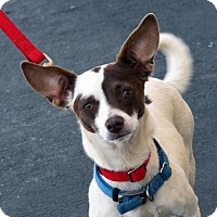 Adopt A Pet :: Cookie - Palmdale, CA