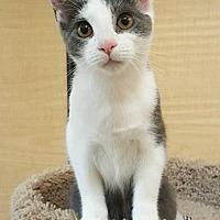 Adopt A Pet :: Boo Boo Kitty - Trenton, NJ