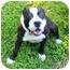 Photo 1 - American Bulldog/Staffordshire Bull Terrier Mix Dog for adoption in Mocksville, North Carolina - Coco
