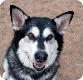 Alaskan Malamute Dog for adoption in Boise, Idaho - KEEA