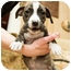 Photo 2 - Boxer/Terrier (Unknown Type, Medium) Mix Puppy for adoption in Howell, Michigan - LaKota