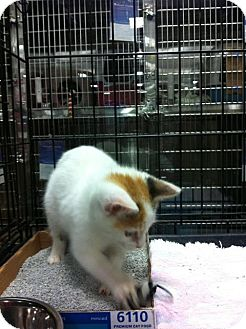 Domestic Shorthair Kitten for adoption in Pittstown, New Jersey - Roxie