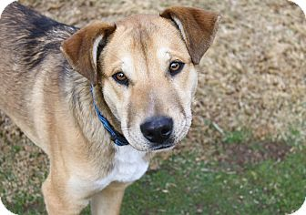 Shepherd (Unknown Type)/Labrador Retriever Mix Puppy for adoption in Yorba Linda, California - Noah