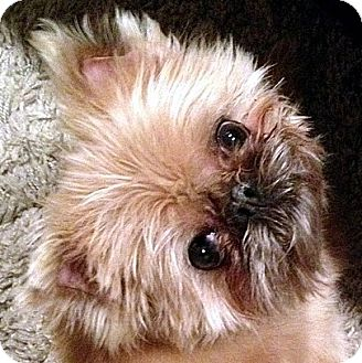 Brussels Griffon Dog for adoption in Los Angeles, California - OLIVER - ADOPTION PENDING!