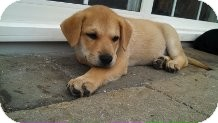 Belgian Malinois/Labrador Retriever Mix Puppy for adoption in Sinking Spring, Pennsylvania - Brady