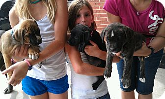 Boxer/Labrador Retriever Mix Puppy for adoption in Cat Spring, Texas - Mixed Breed PUppies