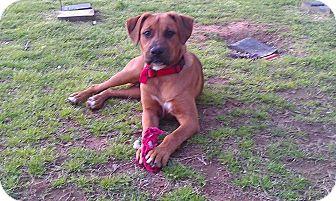Boxer/French Mastiff Mix Puppy for adoption in Shady Point, Oklahoma - Rowdy