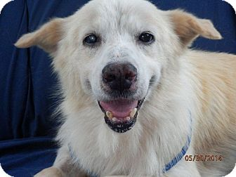 Golden Retriever/Spitz (Unknown Type, Large) Mix Dog for adoption in Norwich, Connecticut - Joe