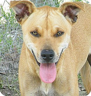Labrador Retriever/Shar Pei Mix Dog for adoption in Okeechobee, Florida - Windsor