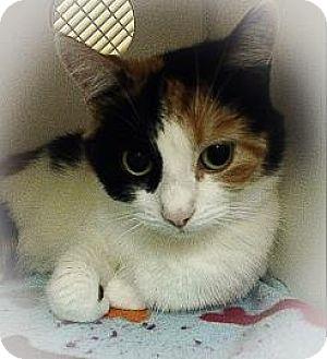 Domestic Mediumhair Cat for adoption in Lowell, Massachusetts - Matcha