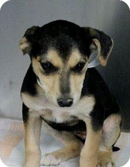 Labrador Retriever/Whippet Mix Puppy for adoption in Williston, Vermont - Zavia