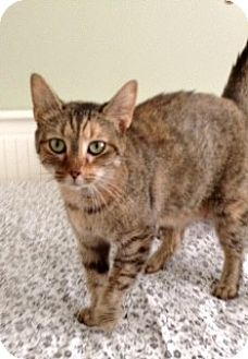 Domestic Shorthair Cat for adoption in Charlotte, North Carolina - A..  Grace