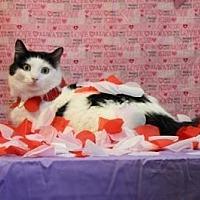 Domestic Shorthair Cat for adoption in Sebastian, Florida - Feather