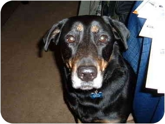 Labrador Retriever/German Shepherd Dog Mix Dog for adoption in Encino, California - KAYA