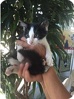 Domestic Shorthair Kitten for adoption in Cat Spring, Texas - Auggie