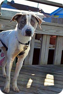 Pointer Dog for adoption in Freeport, New York - Priscilla