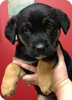 German Shepherd Dog Mix Puppy for adoption in Fairview Heights, Illinois - Ginger