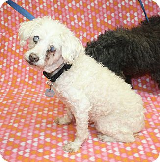 Miniature Poodle Mix Dog for adoption in Jackson, Michigan - Sharee and Lucy