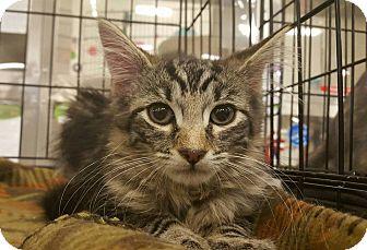 Domestic Mediumhair Kitten for adoption in Bensalem, Pennsylvania - Paddy