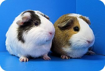 Guinea Pig for adoption in Lewisville, Texas - Sunny and Puddin