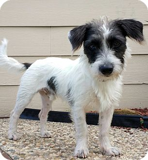 Jack Russell Terrier Dog for adoption in Houston, Texas - Munchie in Houston