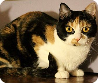 Calico Cat for adoption in Whittier, California - Mykah