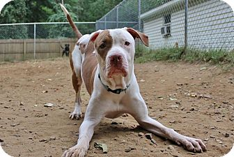 Pit Bull Terrier Mix Dog for adoption in North Haledon, New Jersey - Leon