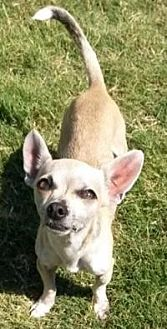 Chihuahua Dog for adoption in Dallas, Texas - Austin