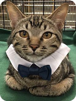 Domestic Shorthair Kitten for adoption in Houston, Texas - Ninja
