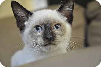 Siamese Kitten for adoption in New Smyrna Beach, Florida - Simon the Siamese kitten