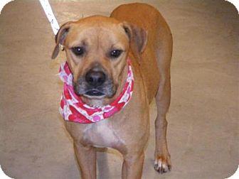 Pit Bull Terrier/Boxer Mix Dog for adoption in Melrose, Florida - Butler