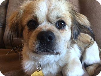 Tibetan Spaniel Mix Dog for adoption in Fallbrook, California - Ruggles