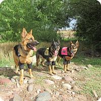 Adopt A Pet :: TRAINED COMPANION SERVICE DOG - Phoenix, AZ
