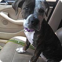 Adopt A Pet :: Bambi - Loxahatchee, FL