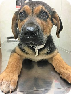 Shepherd (Unknown Type) Mix Puppy for adoption in Downers Grove, Illinois - ADOPTED!!!   Tank