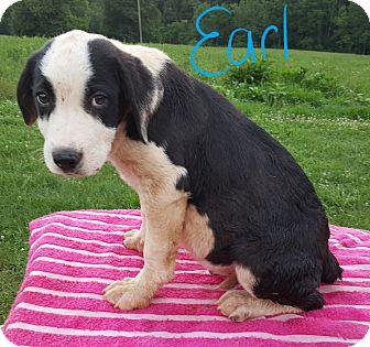 Great Pyrenees/Labrador Retriever Mix Puppy for adoption in Burlington, Vermont - Earl