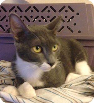 Domestic Shorthair Cat for adoption in Cypress, Texas - Anwyn