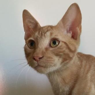 Domestic Shorthair/Domestic Shorthair Mix Cat for adoption in Leander, Texas - Loretta