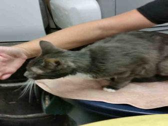 Domestic Shorthair Cat for adoption in Camarillo, California - DIXIE