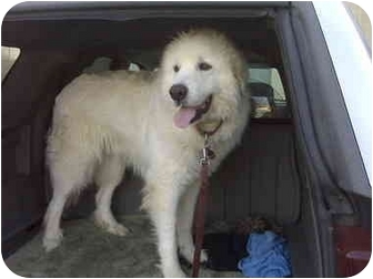 Great Pyrenees Dog for adoption in Portsmouth, Rhode Island - Simon