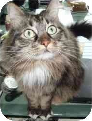 Maine Coon Cat for adoption in Seattle, Washington - Guiness