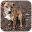 Photo 2 - Pit Bull Terrier Mix Puppy for adoption in Phoenix, Oregon - Tiger Lily