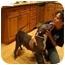 Photo 2 - American Pit Bull Terrier/American Pit Bull Terrier Mix Dog for adoption in Bellflower, California - Dulci