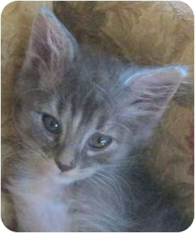 Domestic Mediumhair Kitten for adoption in Muskogee, Oklahoma - Lucille