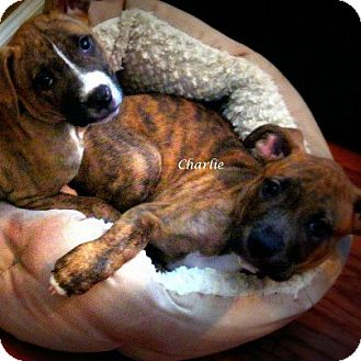 American Staffordshire Terrier/Boxer Mix Puppy for adoption in East Rockaway, New York - Echo
