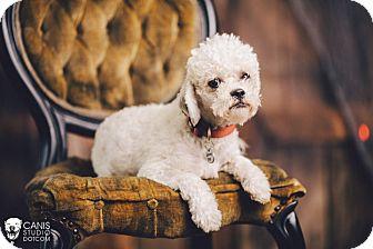 Poodle (Miniature) Dog for adoption in Portland, Oregon - Boreas