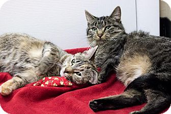Domestic Shorthair Cat for adoption in Chicago, Illinois - Fudge and Speckles